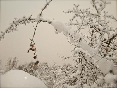 снег на яблоках