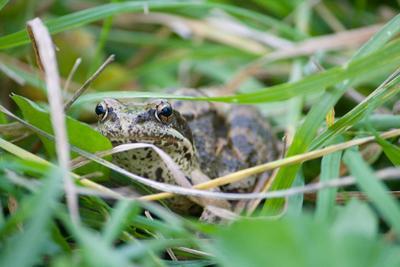 Лягушка осень, лягушка, деревня, трава, мокро