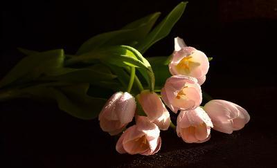 Поздравлние... тюльпаны женский день