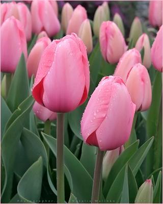 Весны всем прекрасным фотографиням! 8 Марта Тюльпан праздник дамы женский день