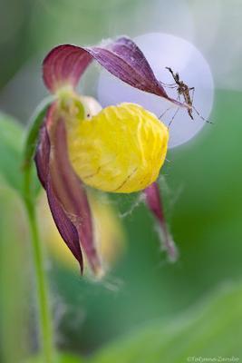 О взаимопонимании Башмачок настоящий,  Венерин башмачок, Cypripedium calceolus, Комар-звонец