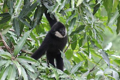 Гиббон гиббон животные Таиланд зоопарк као-кео путешествия