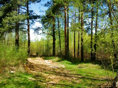 Сосны на пригорке Сосны лес