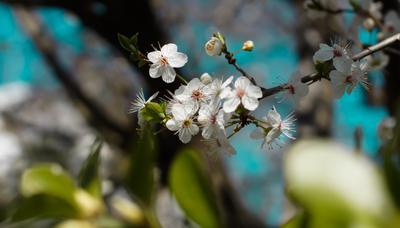 Первый яблоневый цвет. Франция. Яблоневый цвет цветы природа растения весна весенние первые первоцветы