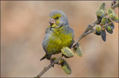 Вербочки верба апрель зеленушка самец