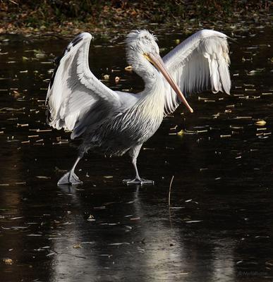 Звезды на льду зверофото пеликан лед фигурное катание