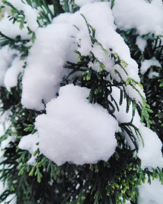 Снежные облака на туевых вершинах первый снег туи туя