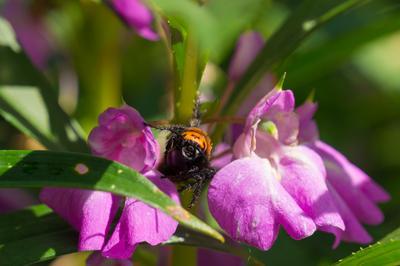 *** шмель пчела цветок зелень трава
