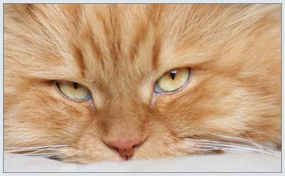 портрет кота кот рыжий морда наглая в обьектив уже не помещается