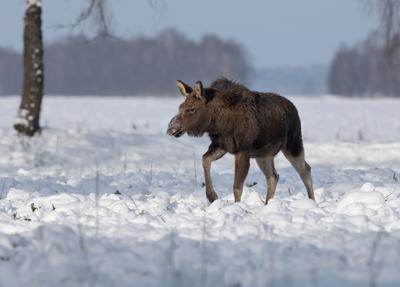 Первая зима лось снег дикие животные