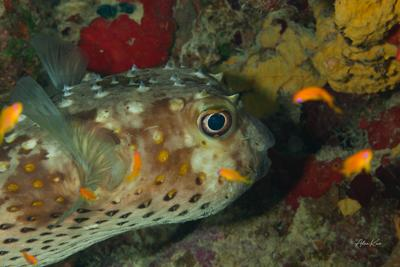Spotbase burrfish rests corals diving fish macro nature ocean photography photos sea underwater water world кораллы море рыбы океан подводная фотография дайвинг природа