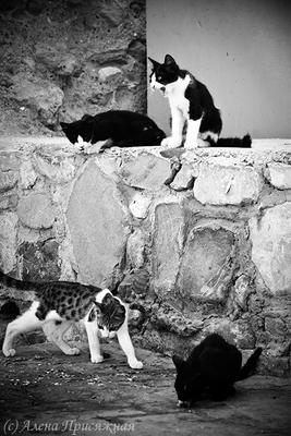 Santa Barbara кошки