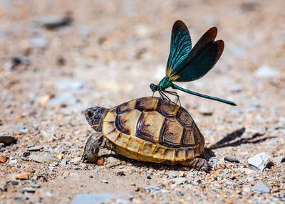 """Стрекоза и черепах..."""