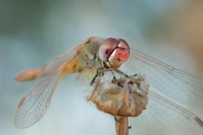 dragonfly macro dragonfly