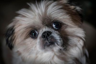 Взгляд Мони собаки ши-тцу