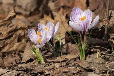 """Трио """"Нежность"""" весна цветы крокусы"""