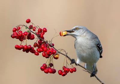 Любитель ягод. Многоголосый пересмешник - Northern Mockingbird