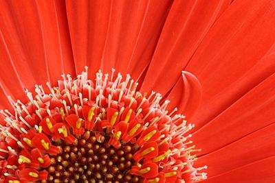 Красное цветок, лепесток