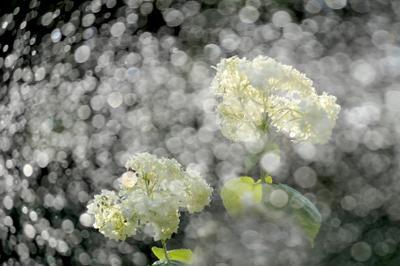 Летняя феерия гортензия лето брызги