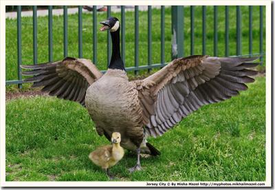 Материнский инстинкт гусь гуси канадский канадские гусёнок птенец мать материнство инстинкт материнский защита