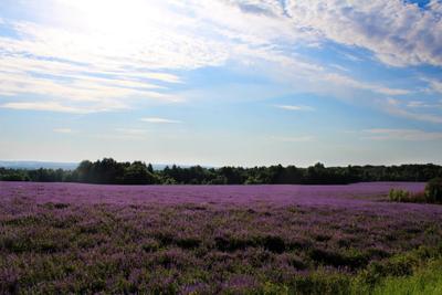 ***летние поля сиреневый поле голубой лето цветет