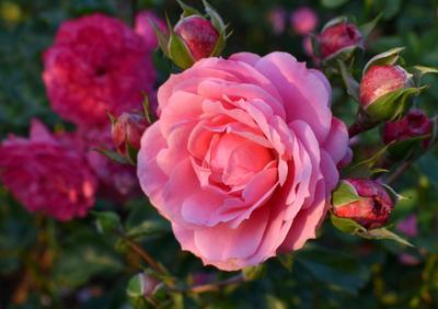 Октябрьская роза осень октябрь цветок роза