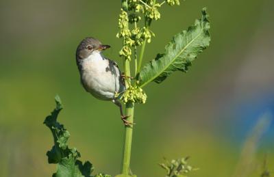 ..на стебле щавеля.. лето птицы конский щавель луг