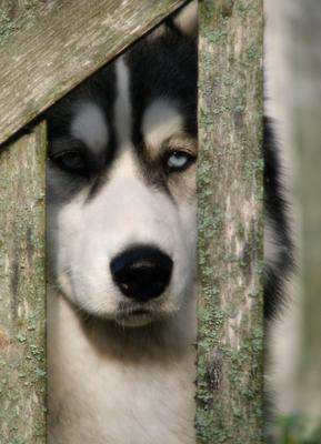 портрет в  весенних тонах хаски собака весна ожидание