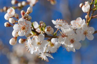 Аромат весны белые цветы март весна аромат