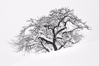 ***Зимняя яблоня Яблоня дерево зима снег