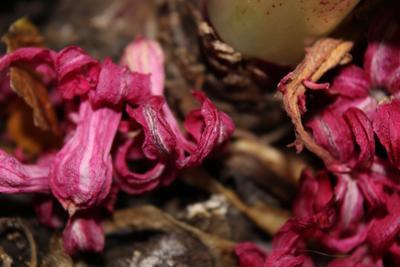 увядание цветы макро гладиолус