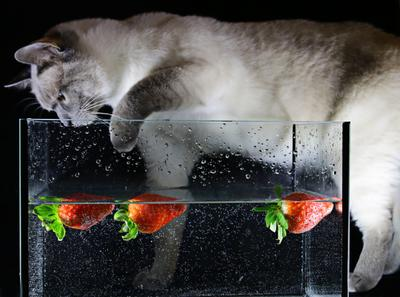 Кот и клубника