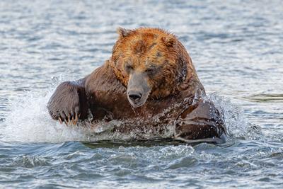 Бросок Камчатка медведь животные природа путешествие фототур