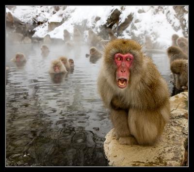 Вожак Япония Хонсю Дзигокудани Japanese macaque