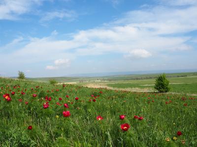 Пейзаж с пионами***
