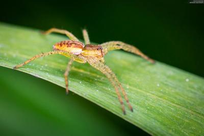 Охотник каемчатый (Dolomedes fimbriatus)