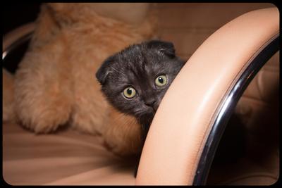 Сильвестр Максимыч Шотландский котенок шоколадный