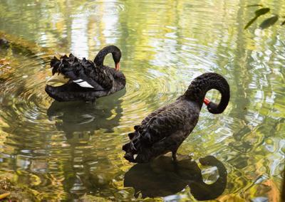 Черные лебеди пруд лебеди