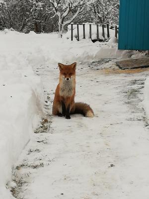 Лиса зима природа снег лиса лисица животное