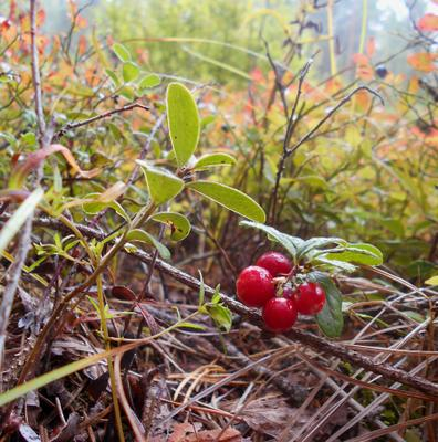 *** лес лето август брусника