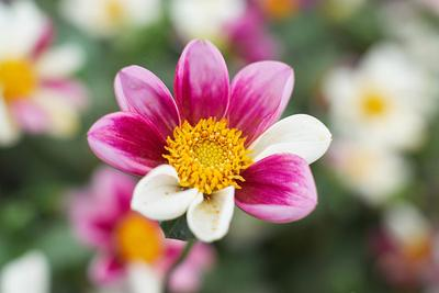 Цветик-семицветик A900, 50/1.4