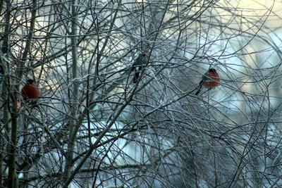 Охлаждение в отношениях птицы снегири зима ветки