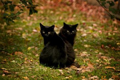 две головы лучше двуглавый кот черная кошка осень