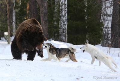 спор медведь лайка