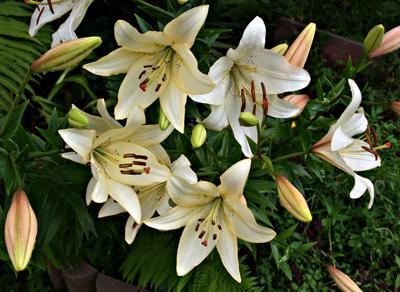 лилии лилии капельки лето