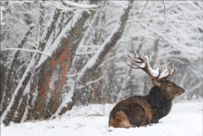Let it snow, let it snow, let it snow ... Беларусь Красный бор фотоохота олень