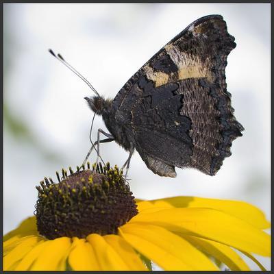 * * * цветок бабочка макро