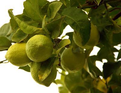 """""""Дикие"""" лимоны.. Лимон"""