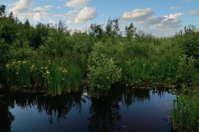Маленькая заводь заводь болото ирисы июнь