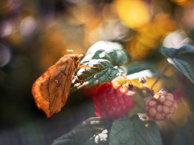 *** малина природа боке бабочка макро